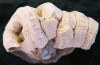 Un fossile molto particolare ritrovato in Toscana