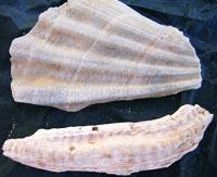 Fossili di Centopino